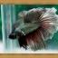 ปลากัดครีบยาว - Halfmoon thumbnail 1
