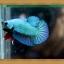 (ขายแล้วครับ)ปลากัดครีบสั้น - Halfmoon Plakats SUPPERBLUE thumbnail 1