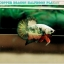(ขายแล้วครับ)ปลากัดครีบสั้น-Halfmoon Plakat Fancy Copper Good Grade thumbnail 2