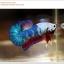 คัดเกรดปลากัดครีบสั้น-Halfmoon Plakat Fancy Dragon thumbnail 6