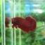 """(ขายแล้วครับ)""""คัดเกรด""""ปลากัดครีบสั้น-Halfmoon Plakats Super Red#1 Grade B+ thumbnail 3"""
