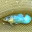 คัดเกรดปลากัดครีบสั้นเพศเมีย - Female Over Tails Halfmoon Plakad Premium Quality Grade AAA+ thumbnail 1