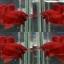 """(ขายแล้วครับ)""""คัดเกรด""""ปลากัดครีบสั้น-Halfmoon Plakats Super Red thumbnail 1"""