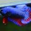คัดเกรดปลากัดครีบสั้น-Halfmoon Plakad Fancy Dragon ฺBlue Red Qaulity Grade thumbnail 2