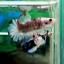"""(ขายแล้วครับ)ตอนรับเทศกาล สงกรานต์ """"คัดเกรด""""ปลากัดครีบสั้น-Halfmoon Plakats Super Fancy Koi Grade AAA thumbnail 8"""