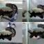 """(ขายแล้วครับ)""""คัดเกรด""""ปลากัดครีบสั้น-Halfmoon Plakats Black Dragon thumbnail 1"""
