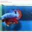 คัดเกรดปลากัดครีบสั้น-Halfmoon Plakat Fancy Blue Red Dragon thumbnail 2