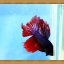 ปลากัดครีบยาว - Fancy Halfmoon thumbnail 3