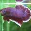 """(ขายแล้วครับ)""""คัดเกรด""""ปลากัดครีบสั้น-Halfmoon Plakats Lavender thumbnail 4"""