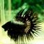 (ขายแล้วครับ)ปลากัดครีบยาวหางมงกุฎ-Crowntails Black Copper Quality Grade thumbnail 3