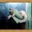 ปลากัดครีบยาว-Fancy Halfmoon Plakats thumbnail 4
