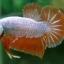 """(ขายแล้วครับ)""""คัดเกรด""""ปลากัดครีบสั้น-Halfmoon Plakats Orange Dragon Sweet thumbnail 8"""