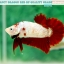 """(ขายแล้วครับ)มาแล้วสวยแปลก""""คัดเกรด""""ปลากัดครีบสั้น-Halfmoon Plakats Fancy Red Marble BF thumbnail 1"""