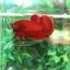 """(ขายแล้วครับ)""""คัดเกรด""""ปลากัดครีบสั้น-Halfmoon Plakats Super Red#2 Grade B+ thumbnail 3"""