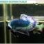 """(ขายแล้วครับ)""""คัดเกรด""""ปลากัดครีบสั้น-Halfmoon Plakats Grizzled thumbnail 9"""
