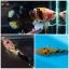 """(ขายแล้วครับ)""""คัดเกรด""""ปลากัดครีบสั้น-Halfmoon Plakats Fancy Yellow Black Koi thumbnail 1"""