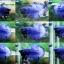 """(ขายแล้วครับ)""""คัดเกรด""""ปลากัดครีบสั้น-Halfmoon Plakats Super Blue thumbnail 1"""