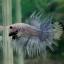 (ขายแล้วครับ)ตอนรับเทศกาล สงกรานต์ ปลากัดครีบยาวหางมงกุฏ-Crowntails Fancy thumbnail 3