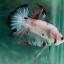 """(ขายแล้วครับ)""""คัดเกรด""""ปลากัดครีบสั้น-Halfmoon Plakats Fancy Koi Red Mark thumbnail 5"""