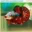 """""""คัดเกรด""""ปลากัดครีบสั้น-Halfmoon Plakats Fancy Dragon Devil Short Body thumbnail 5"""