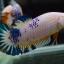 คัดเกรดปลากัดครีบสั้นเพศเมีย-Female Halfmoon Plakad Fancy Dragon Qaulity Grade thumbnail 7