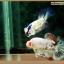 คัดเกรดปลากัดครีบสั้น-Halfmoon Plakat Fancy Blue Dragon and Marble thumbnail 7