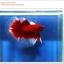 คัดเกรดปลากัดครีบยาว-Halfmoon Red Butterfy Nice Grade thumbnail 1