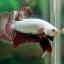 """(ขายแล้วครับ)""""คัดเกรด""""ปลากัดครีบสั้น-Halfmoon Plakats Red Dragon thumbnail 14"""