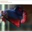 คัดเกรดปลากัดครีบสั้น-Halfmoon Plakat Fancy Red Blue Dragon thumbnail 3