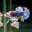 """(ขายแล้วครับ)""""คัดเกรด""""ปลากัดครีบสั้น-Halfmoon Plakats Super Fancy Grade AAA (ปลาประกวด) thumbnail 5"""