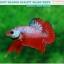 """(ขายแล้วครับ)""""คัดเกรด""""ปลากัดครีบสั้น-Halfmoon Plakats Fancy Dragon Red Devil thumbnail 7"""