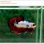 คัดเกรดปลากัดครีบสั้น-Halfmoon Plakat Fancy Dragon thumbnail 1