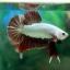 """(ขายแล้วครับ)""""คัดเกรด""""ปลากัดครีบสั้น-Halfmoon Plakats Red Dragon thumbnail 3"""