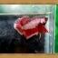 (ขายแล้วครับ)ปลากัดครีบสั้น-Halfmoon Plakats thumbnail 2