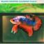 """(ขายแล้วครับ)""""คัดเกรด""""ปลากัดครีบสั้น-Halfmoon Plakats Fancy Dragon Orange Monster thumbnail 1"""