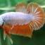 """(ขายแล้วครับ)""""คัดเกรด""""ปลากัดครีบสั้น-Halfmoon Plakats Orange Dragon Sweet thumbnail 4"""