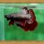 (ขายแล้วครับ)ปลากัดครีบสั้น - Fancy Halfmoon Plakats thumbnail 7