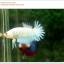 คัดเกรดปลากัดครีบสั้น-Halfmoon Plakat Fancy Nice Marble Dragon thumbnail 4