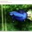 คัดเกรดปลากัดครีบสั้น-Halfmoon Plakat Super Blue thumbnail 6