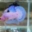 ปลากัดคัดเกรดครีบสั้น - Halfmoon Plakad Fancy Marble Quality Grade thumbnail 2