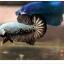 """(ขายแล้วครับ)""""คัดเกรด""""ปลากัดครีบสั้น-Halfmoon Plakats Black Dragon Samuri thumbnail 8"""