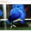 พิเศษ คัดเกรดปลากัดครีบสั้น-Halfmoon Plakat BLue Mustrad Grade AAA+ thumbnail 3