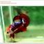 คัดเกรดปลากัดครีบสั้น-Hi- Quality Halfmoon Plakat Fancy Red Black Eye Quality Grade thumbnail 8