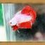 ปลากัดครีบสั้น Halfmoon Plakats thumbnail 2