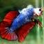 (ขายแล้วครับ)ปลากัดครีบสั้น-Halfmoon Plakats Fancy Dragon thumbnail 9
