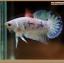 ปลากัดครีบสั้นหางพระจันทร์ครึ่งดวง - Halfmoon Plakat Marble thumbnail 1