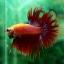 (ขายแล้วครับ)ปลากัดครีบยาวหางมงกุฎ-Crowntails Red thumbnail 13