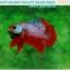 """(ขายแล้วครับ)""""คัดเกรด""""ปลากัดครีบสั้น-Halfmoon Plakats Fancy Dragon Red Devil thumbnail 5"""