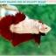 """(ขายแล้วครับ)มาแล้วสวยแปลก""""คัดเกรด""""ปลากัดครีบสั้น-Halfmoon Plakats Fancy Red Marble BF thumbnail 4"""