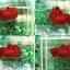 """(ขายแล้วครับ)""""คัดเกรด""""ปลากัดครีบสั้น-Halfmoon Plakats Super Red#2 Grade B+ thumbnail 1"""